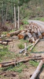 Vendo árvores,  já derrubadas e muitas por derrubar, eucaliptos grands