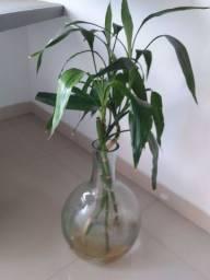Bamboo da sorte