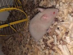 Hamster Sírio machos