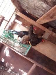 Vendo galinha caipira galo caipira e galizé