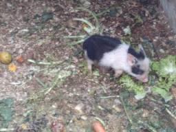 Mini porco barateza