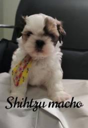 Um amor de Shihtzu esperando por você