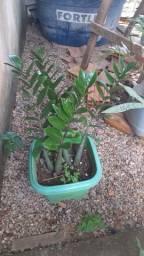 Vendo essas duas plantas lindas