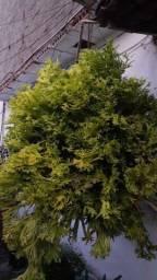 Planta Perfeita p decoração !