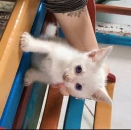 Lindos gatinhos siameses