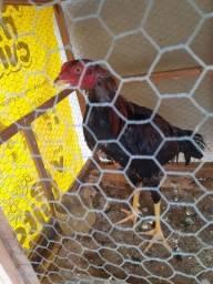 Galo fino e galinha fina