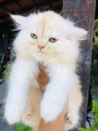 Gato persa macho filhote com pedigree e vacina