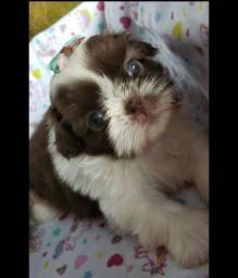 Shihtzu Com assistencia veterinaria