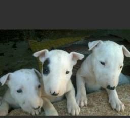 Bull Terrier 2 machos TOP (puro/Branco) barato