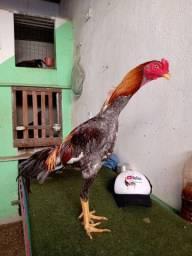 Aves de qualidade em Caucaia Ceará
