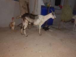Caprino cabras