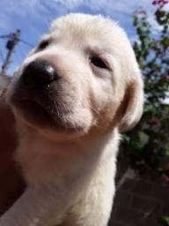 Labrador lindo !
