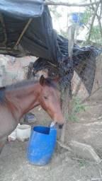 Cavalo (Égua)