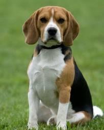 Excelentes cães da raça Beagle, com pedigree