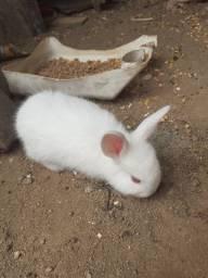 Vende_ se filhote de coelho