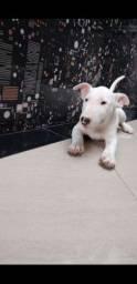 Bull terrier fêmea a pronta entrega em nossa loja