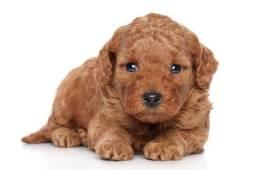 Procuro poodle toy para comprar