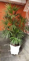 Planta para decoração