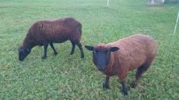 Ovelhas mansas