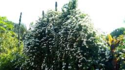 Turbina corymbosa (sementes)
