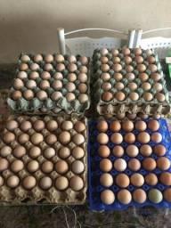 Ovos de galinha da angola. Para chocadeira.