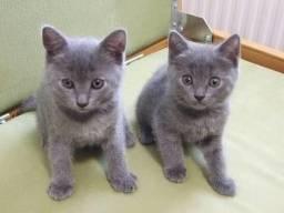 Procuro Gato cinza macho