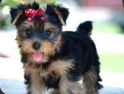 Yorkshire Terrier micro fêmea esperando por você