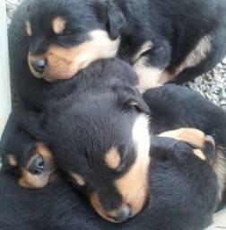Filhotes Rottweiler Macho