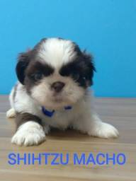 Aqui voce encontra os mais lindos Shihtzu, vem conferir!