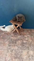 Vendo casal de gato persa adultos