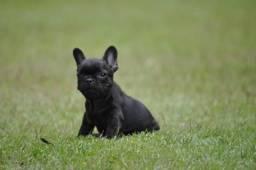 Bulldog francês filhotes em canil com qualidade e estrutura