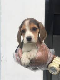 Beagle mini, com pedigree e assistência veterinária, para info whats!
