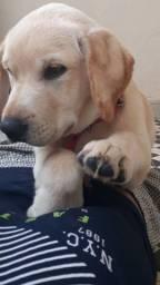 Labrador(fêmea)3 meses