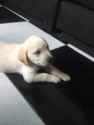 Maravilhosa Fêmea de Labrador C/ Pedigree