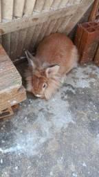Coelha prenha