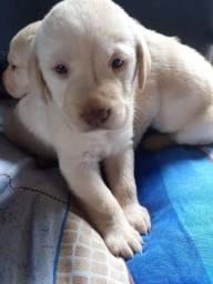 Filhote de Labrador disponível