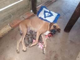 Filhotes de cachorro Boxer legítimo(macho)