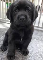 Labrador machinhos e fêmeas, adquira seu bebê sem sair de casa!