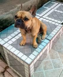 procuro Bulldog fêmia