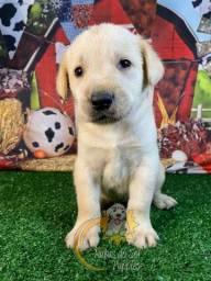 Labradores Belíssimos Filhotes