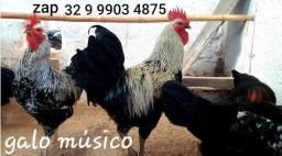 Ovos galados férteis da raça galo músico cantor e tbm galinha música canto longo *DZ