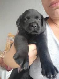 Labrador puro! FAVOR LER O ANÚNCIO ATENTAMENTE