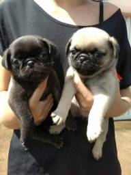 Fêmeas e machinhos de Pug disponíveis em loja pra já