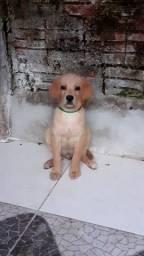 Labrador macho