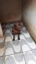 Vendo Labrador chocolate fêmea