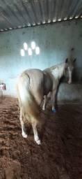 Égua quarto de milha.