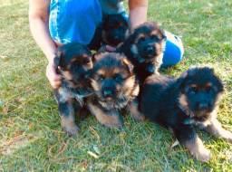Vendo filhotinhos de pastor alemão capa preta