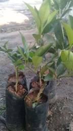 Vendo mudas frutíferas