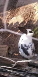 Dois coelhos por $50