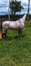 Cavalo tordilho mangalarga